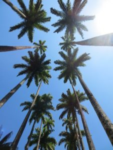 Towering palm trees.