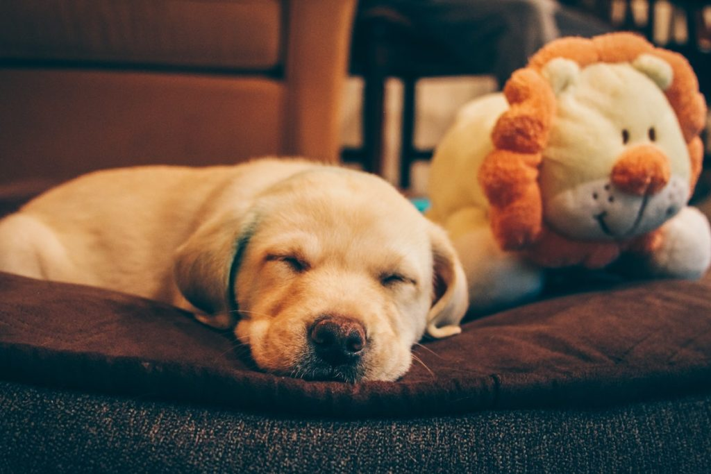 Puppy with toy appealing to buyers with pets